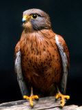 Rock Kestrel Portrait, Cape Town, South Africa Photographic Print by Claudia Adams