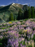 Lupine and Subalpine Firs, Humboldt National Forest, Jarbridge Wilderness and Mountains, Nevada, Photographic Print by Scott T. Smith