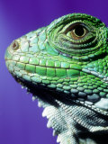 Green Iguana, South America Photographic Print by Don Romero