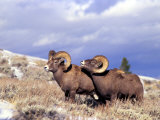 Bighorn Rams on Grassy Slope, Whiskey Mountain, Wyoming, USA Fotoprint van Howie Garber