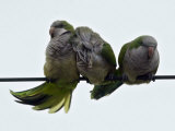 Three Monk Parakeets Brace Themselves against a Stiff Breeze as They Perch on a Wire Stampa fotografica