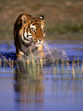Captive Bengal Tiger, India Photographic Print by Stuart Westmorland