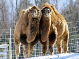 A Pair of Bactrian Camels Photographic Print