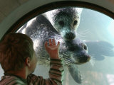 A Child (No Name Given) Looks Through a Window into the Pool of a Group of Seals Playing Underwater Photographic Print