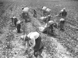 Mexican Cotton Pickers Photographic Print