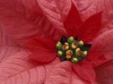 Red Poinsettia, Washington, USA Photographic Print by Jamie & Judy Wild