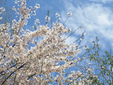 White Blossoms on a Tree Photographic Print