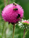 A Trio of Bees Explore a Giant Thistle Bloom on a Farm Near New Castle Photographic Print