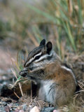 Least Chipmunk Photographic Print by D. Robert Franz