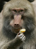 A Hamadryas Baboon Named Baines Photographic Print