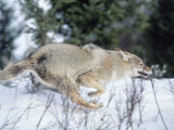 Coyote Running in Snow, Canis Latrans Photographic Print by D. Robert Franz