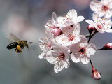 A Bee Hovers in Front of a Blossom of a Plum Tree Photographic Print