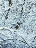 A Whitetail Deer Peers Through Snow Covered Tree Branches Photographie