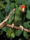 Green Cheeked Amazon, Amazona Viridigenalis Photographic Print by Lynn M. Stone