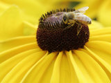 A Bee Collects Pollen from a Black-Eyed Susan Photographic Print