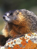 Yellow-bellied Marmot, Yellowstone National Park, Wyoming, USA Photographic Print by Rob Tilley