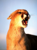 Mountain Lion with Mouth Open, Southwest US Photographic Print by Amy And Chuck Wiley/wales