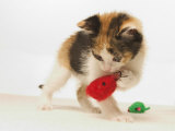 Multicolored Kitten Playing with Toy Photographic Print by Steve Starr
