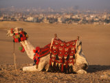 Camel Near Pyramids of Giza, Cairo, Egypt Photographic Print by Pat Canova
