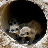 Three of Jenny the Meerkats New Babies Venture Out at London Zoo Photographic Print
