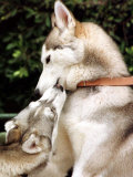 Two Dogs, Siberian Husky Breed, Play with Each Other Photographic Print