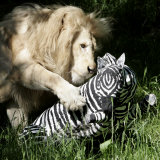 A White Lion Plays with a Papier Mache Zebra Photographic Print