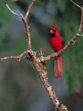 Northern Cardinal, Texas, USA Photographie par Dee Ann Pederson