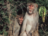 Rhesus Monkeys, Sariska Game Preserve, India Photographic Print by Pat Canova