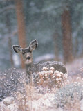 Deer in Winter Forest Photographic Print by D. Robert Franz