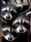 Three Young Raccoons Peer out of Their Nest at the Florida Wild Mammal Association Fotografisk tryk