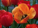 Flaming Parrot Tulips in Bloom Fotografisk tryk af Charles Benes