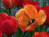 Flaming Parrot Tulips in Bloom Photographic Print by Charles Benes
