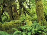Moss Covered Trees in the Hoh Rainforest, Olympic National Park, Washington, USA Photographic Print by Jamie & Judy Wild