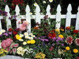 White Picket Fence and Flowers, Sammamish, Washington, USA Photographic Print by Darrell Gulin