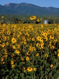 Field of Common Sunflowers, Abajo Mountains, Monticello, Utah, USA Fotografie-Druck von Jerry & Marcy Monkman