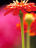 Zinnia, Seattle, Washington, USA Photographic Print by Terry Eggers