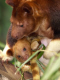 A Baby Goodfellow's Tree Kangaroo Peeks from its Mother's Pouch at the Cleveland Metroparks Zoo Photographic Print