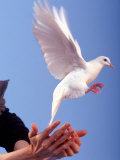 Man Releasing a Dove Photographic Print by Jim McGuire