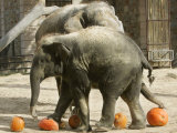 Baby Elephant Kandula, Foreground, Steps on Pumpkins as Mom Shanti Helps Out Photographic Print