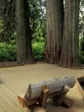 Western Red Cedars in the Grove of Patriarchs, Mt. Rainier National Park, Washington, USA Photographic Print by Jamie & Judy Wild