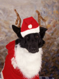 Black Dog Dressed Up As Santa Claus Photographic Print by Jeff Dunn