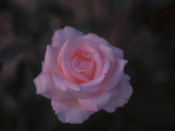 A Single Pink Rose Photographic Print