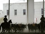 A Herd of Longhorn Cattle is Rounded up to Go Through Downtown Dallas Photographic Print
