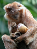 A Baby Ebony Langur is Groomed by its Mother Photographic Print