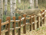 A Yearling Buck Vaults Over a Neighborhood Fence in St. Paul, Minn. Photographic Print