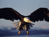 American Bald Eagle in Flight 写真プリント : リン M. ストーン