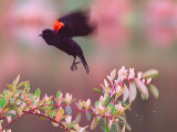 A Red-Winged Blackbird Lifts from its Perch on a Blooming Tree on a Rainy Spring Day Photographic Print