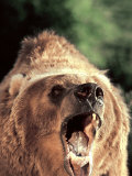Grizzly Bear Photographic Print by John Dominis