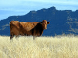 Cattle Grazing Stampa fotografica