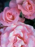 Pink Rose Trio at Bellevue Botanical Garden, Washington, USA Photographic Print by Jamie & Judy Wild